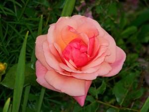 rose-1301595726lFw